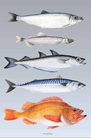 100 years of fish meal and oil processing s ldarminjasafni for Oily fish representative species